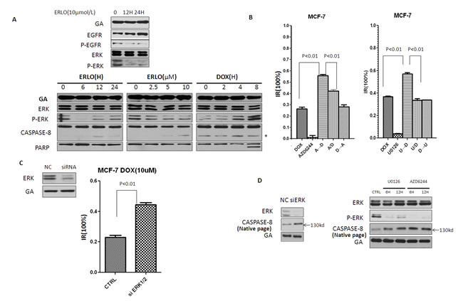 Erlotinib induces pro-caspase-8 homodimerization by inhibiting P-ERK.