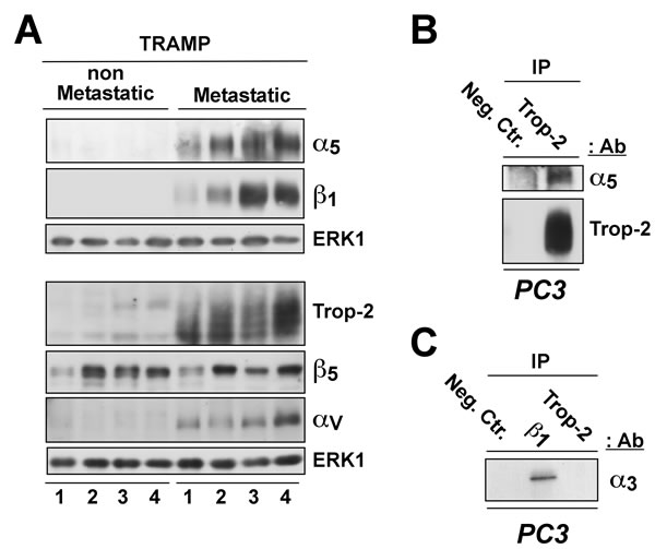 Correlation of Trop-2 and α5β1 integrin expression in murine PCa.