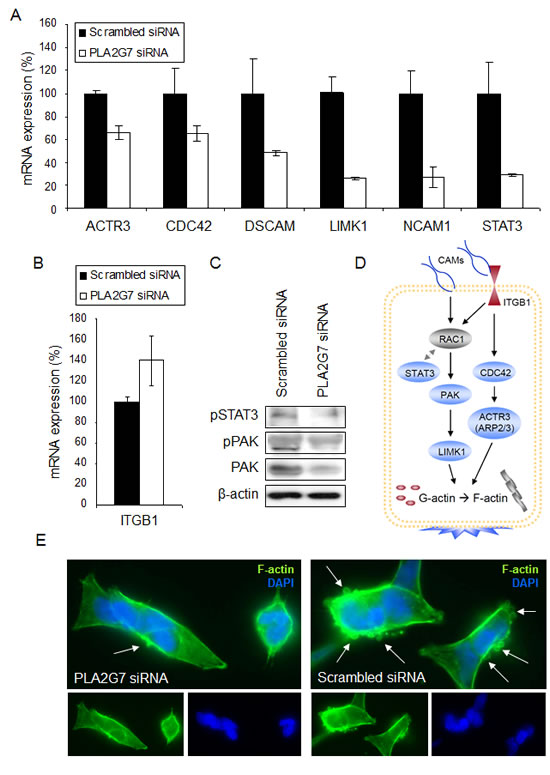 PLA2G7 affects the expression of multiple genes associated with cell adhesion and migration.