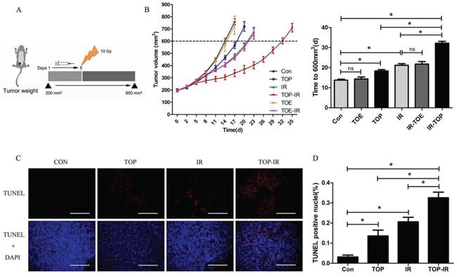 TOP inhibits tumor growth and enhances radiosensitivity in vivo.