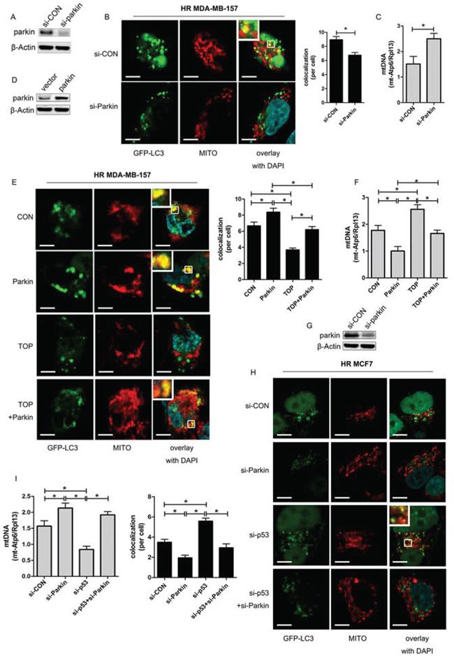 TOP inhibits Parkin-mediated mitophagy under hypoxic conditions.