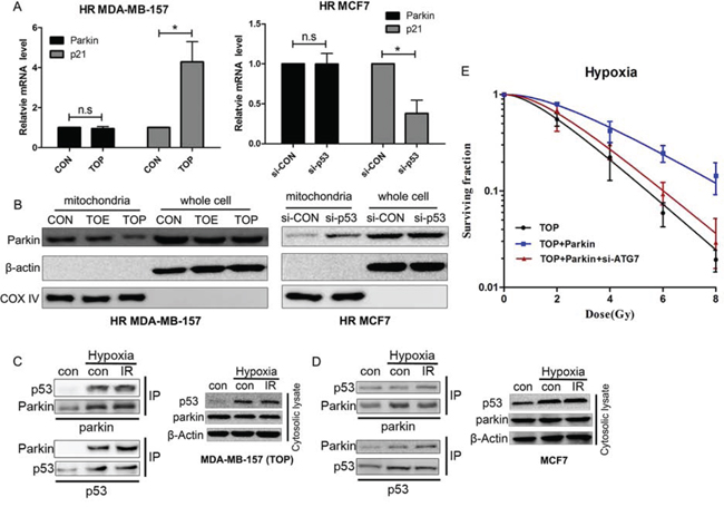 Interaction of p53 with Parkin inhibits translocation of Parkin to the mitochondria and suppresses hypoxia-induced radioresistance via inhibition of mitophagy.