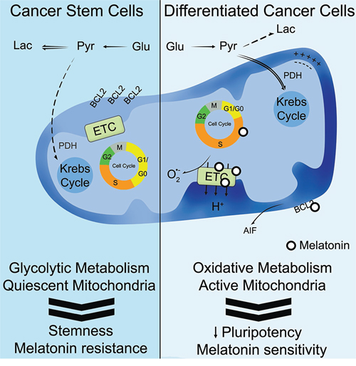 Schematic representation summarizing the proposed role of melatonin in cancer stem cells.