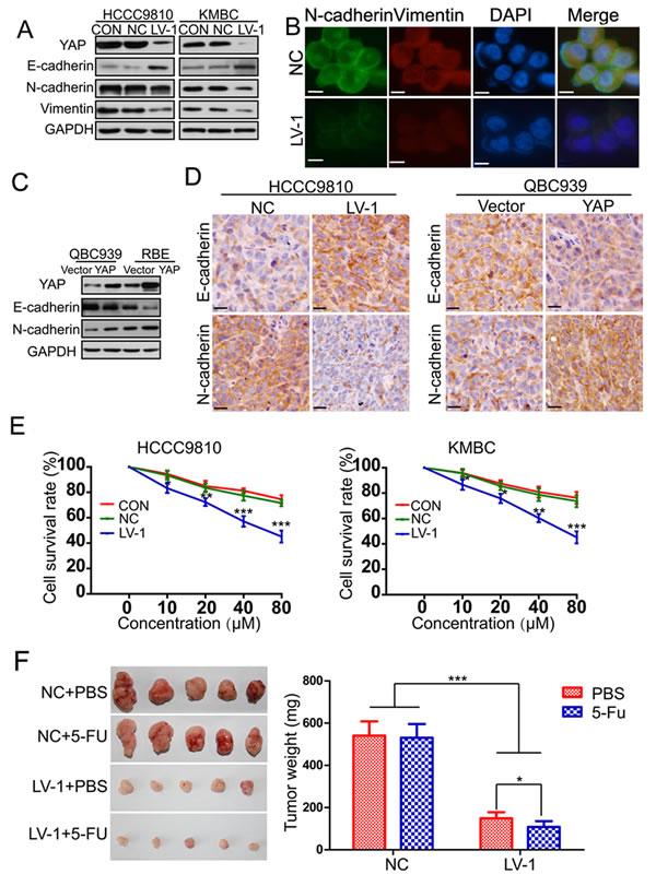 YAP induces epithelial-mesenchymal transition.