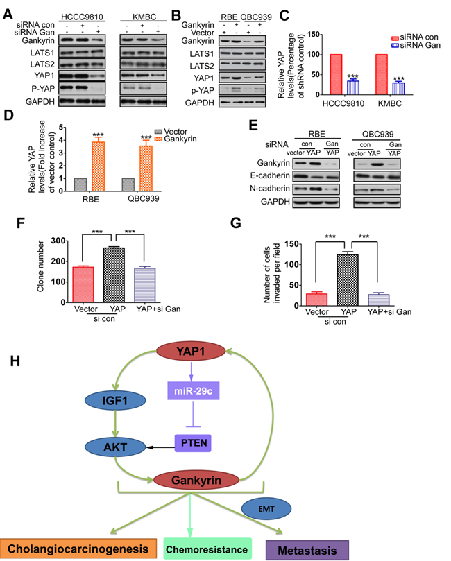 Gankyin upregulates YAP at transcriptional level and is responsible for YAP-induced oncogenic activity.