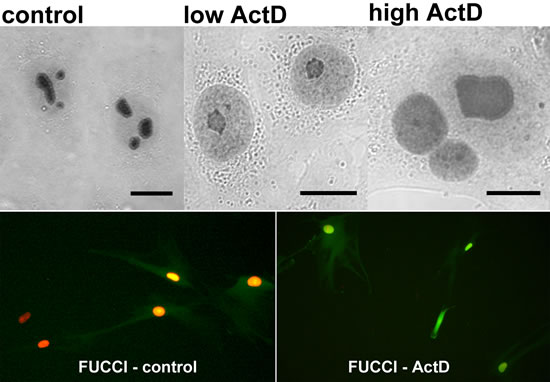 Correlation of ActD-stimulated changes of PGAM localization in NSCLC cells with blockade of the cell cycle cell in G2 phase.