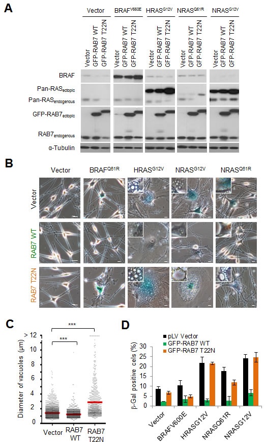 RAB7 counteracts PI3K-driven oncogenic stress.