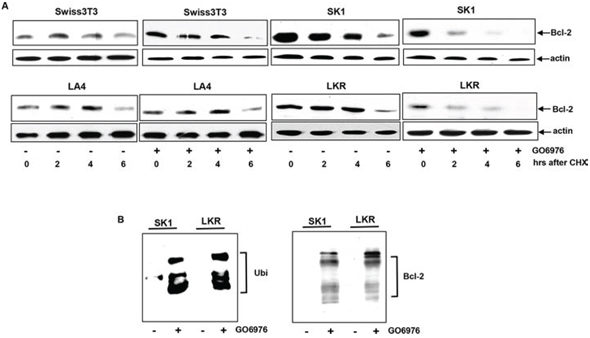 Acceleration of Bcl-2 degradation in the apoptotic process.