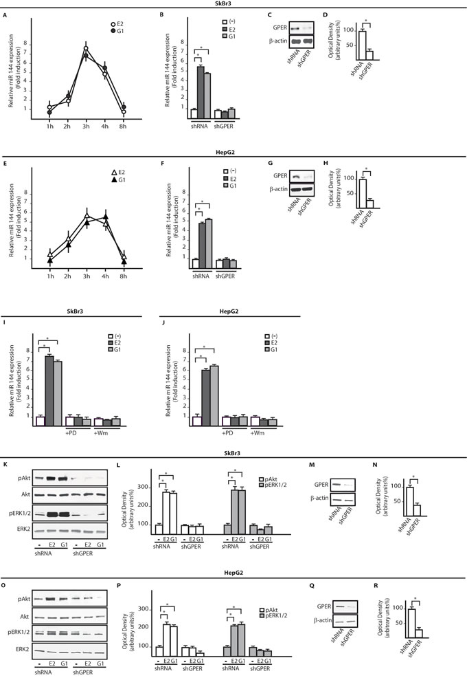 E2 and G-1 up-regulate miR144 expression through GPER and the PI3K-Akt/ERK1/2 transduction pathways.