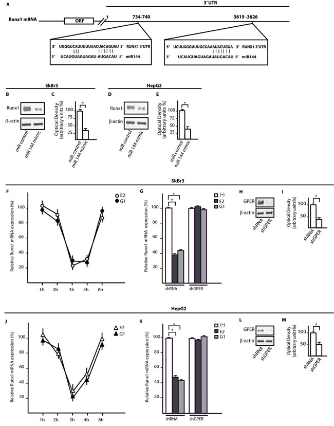 Runx1 is a target gene of mir144 and its expression is down-regulated by E2 and G-1 through GPER.