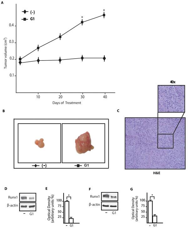 G-1 down-regulates Runx1 expression in tumor xenografts.