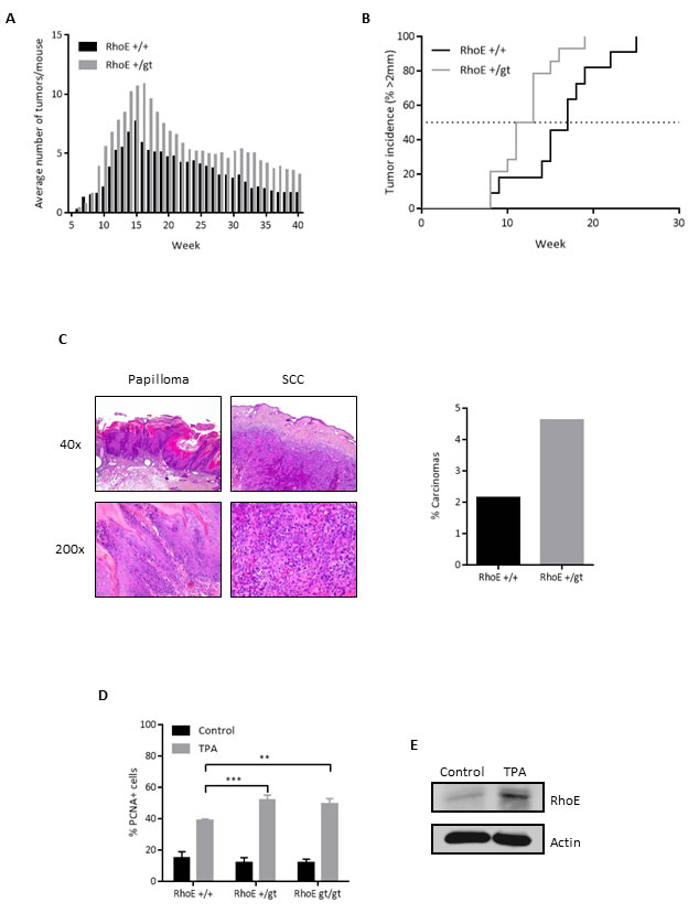 RhoE protects from DMBA/TPA-induced skin tumors in mice.