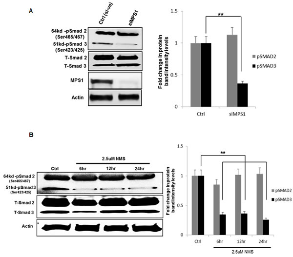 MPS1 inhibition affects phosphorylation of SMAD3 not SMAD2.