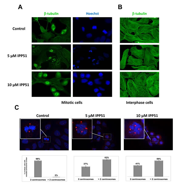IPP51 disrupts mitotic spindle formation.