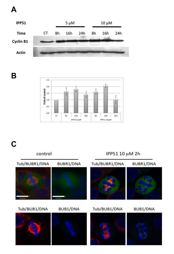 IPP51 induces mitotic checkpoint activation.