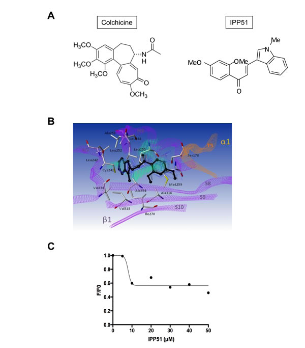 IPP51 binds at the colchicine binding domain of tubulin.