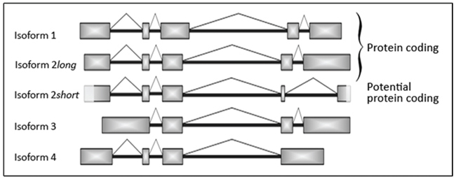 Schematic illustration of the different SNCG mRNA isoforms including novel isoform 2 short.