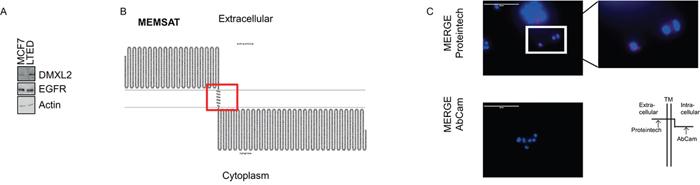 DMXL2 has a potential extracellular domain.
