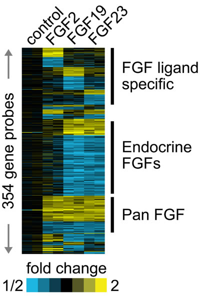 Different FGF ligands drive both common and unique gene expression changes.