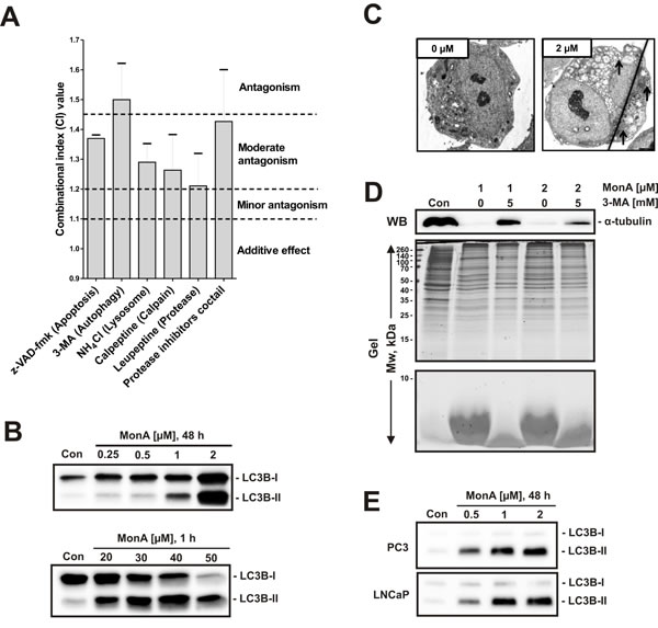 Protein degradation induced by MonA shows hallmarks of autophagy.