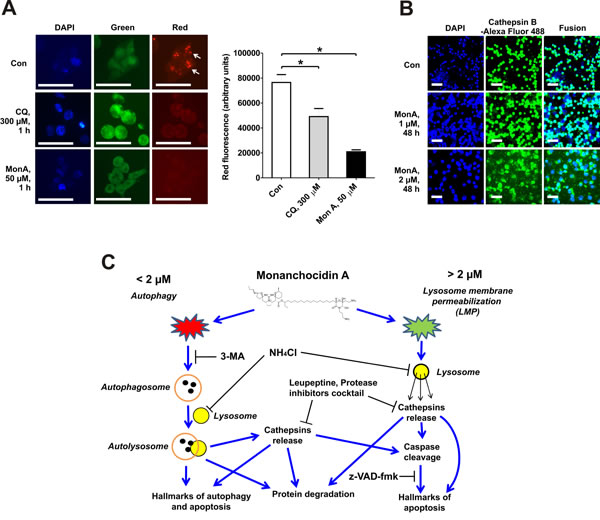 Induction of lysosomal membrane permeabilization (LMP) and model of the suggested mechanism of action of MonA.