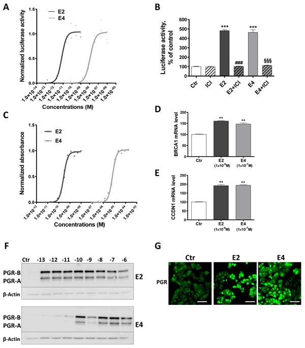 E4 enhances transcriptional activity of ERα.