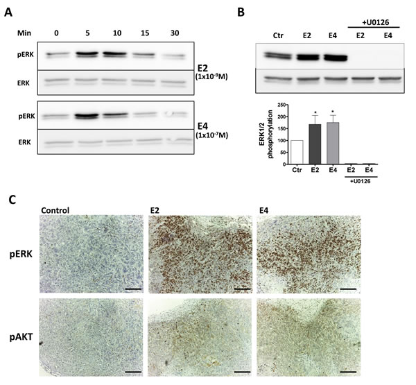 E4 activates extra-nuclear signaling pathways.
