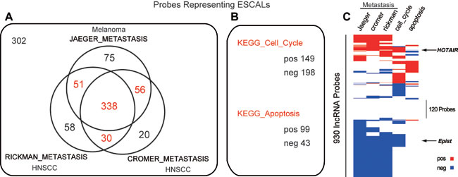 Long noncoding RNAs associated with metastasis, cell cycle and apoptosis.
