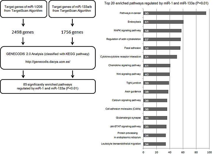Workflow for the bioinformatic analysis of target genes of miR-1, miR-133a, miR-133b and miR-206.
