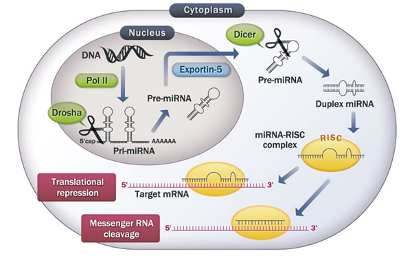 The microRNA biosynthetic pathway.