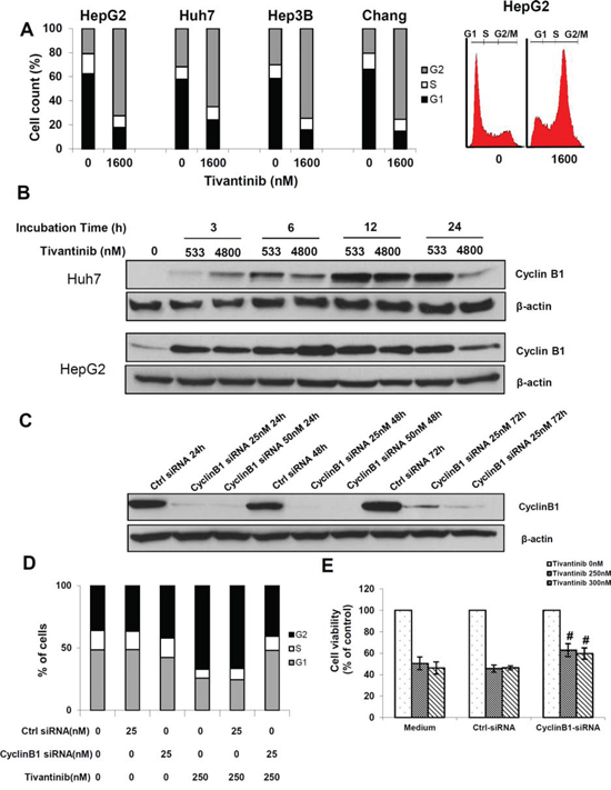 Tivantinib causes a Cyclin B1-dependent G2 cell cycle arrest.