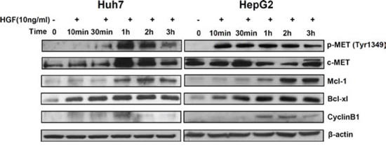 Mcl-1 and Bcl-xl are regulated by stimulation of c-MET.
