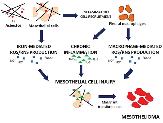 Asbestos-induced cell injury leading to mesothelioma.