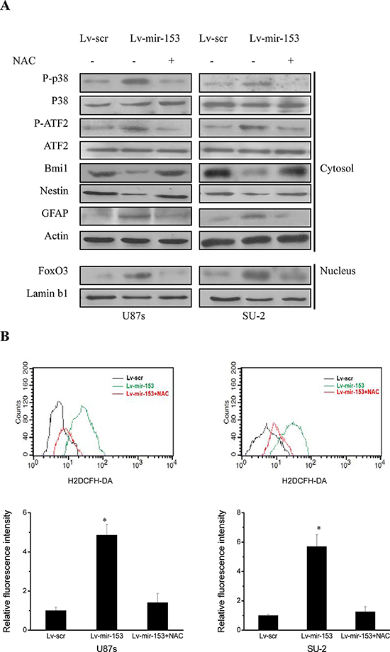 MiR-153 overexpression decreased stemness and induced differentiation through ROS-mediated activation of p38 MAPK in GSCs.