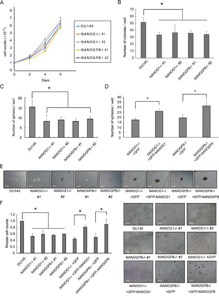 Knockout of NANOG1 and NANOGP8 decreases clonogenic potential.