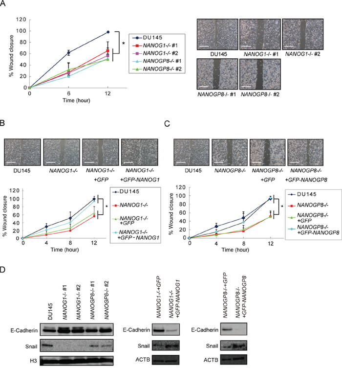 Knockout of NANOG1 and NANOGP8 decreases migratory potential.