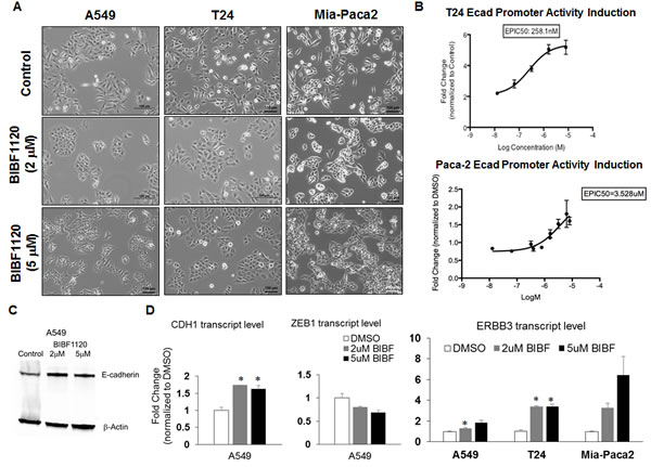 Effect of nintedanib treatment on the expression levels and promoter activities of E-cadherin in A459, T24, and Mia-Paca2 cells.