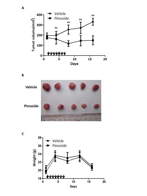 Pimozide reduces the tumor burden in a nude mice xenograft model.