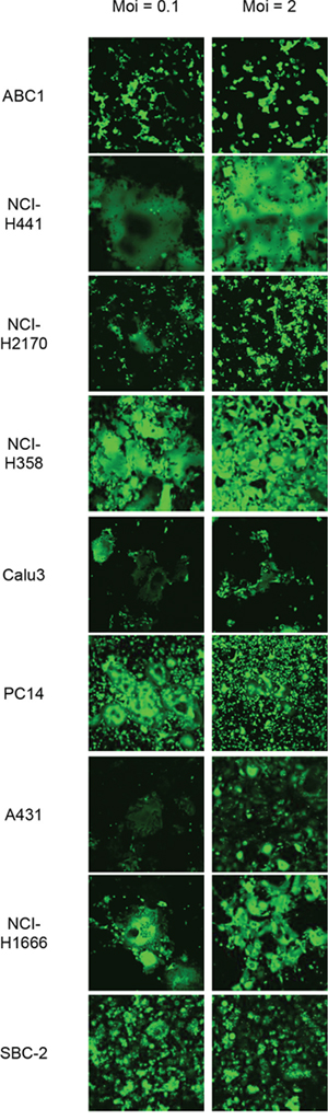 Susceptibility of Nectin-4 expressing-lung cancer cells to rMV-SLAMblind infection.