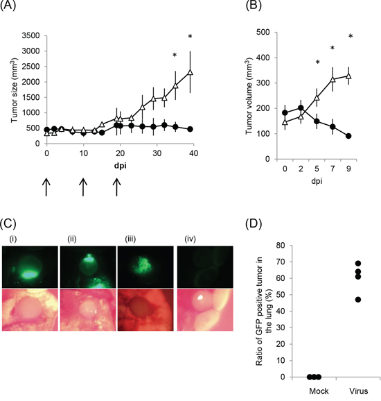 Anti-tumor effect of rMV-SLAMblind in a xenograft model of a lung cancer.