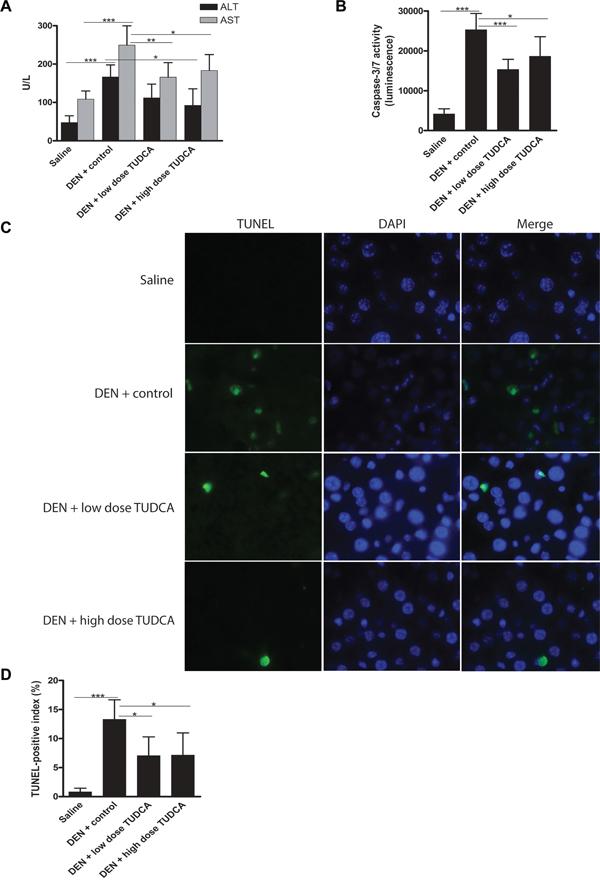 TUDCA reduces DEN-induced apoptosis of hepatocytes.