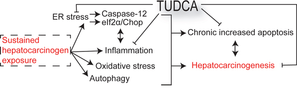 Schematic overview outlining the mechanisms of the chemopreventive effects of TUDCA.