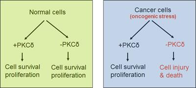 PKCδ in survival of normal versus cancer cells.