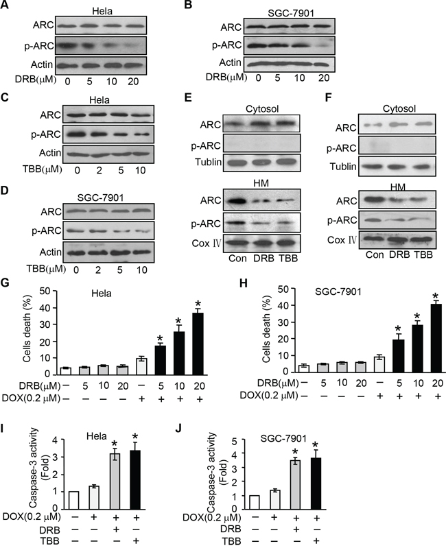 Inhibition endogenous ARC phosphorylation by CK2 inhibitor sensitizes cells to undergoing apoptosis.