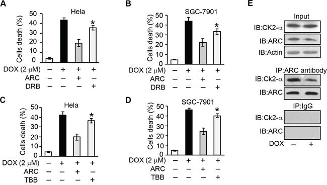 CK2 regulates apoptosis through targeting ARC.