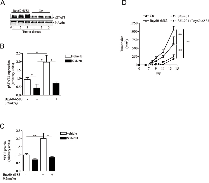 STAT3 activation is enhanced in melanoma tissues of mice treated with Bay60-6583.