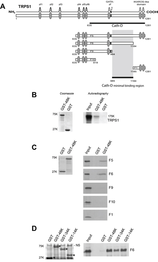 Cath-D binds to TRPS1 in vitro.