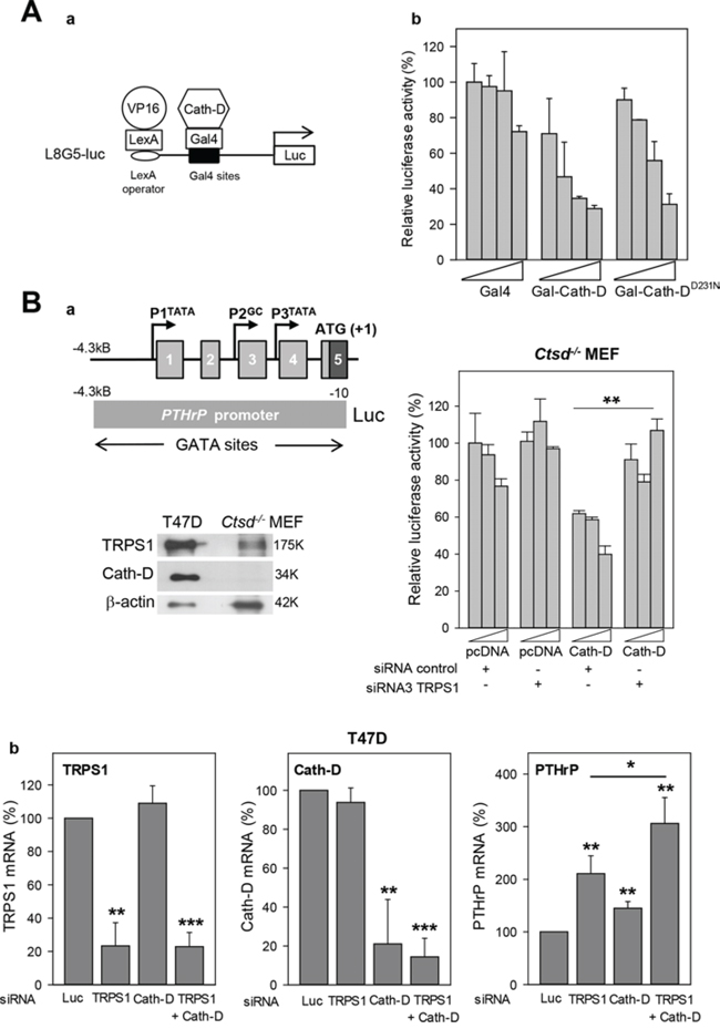 Transcription repression by TRPS1 and Cath-D.