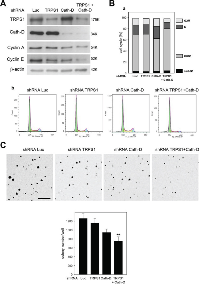Cath-D/TRPS1 dual silencing inhibits cell cycle progression and cell transformation.