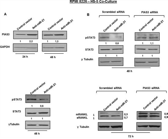 Inhibition of miR-21 suppresses RANKL through PIAS3 upregulation.